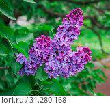 Купить «A branch of blossoming lilac in the daylight», фото № 31280168, снято 16 мая 2018 г. (c) easy Fotostock / Фотобанк Лори