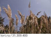Купить «Detail of pampas grass plant feathers», фото № 31309400, снято 16 апреля 2019 г. (c) easy Fotostock / Фотобанк Лори
