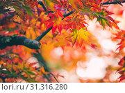 Купить «Colorful japanese maple (Acer palmatum) leaves during momiji season at Kinkakuji garden, Kyoto, Japan», фото № 31316280, снято 11 ноября 2018 г. (c) easy Fotostock / Фотобанк Лори