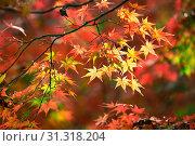 Купить «Colorful japanese maple (Acer palmatum) leaves during momiji season at Kinkakuji garden, Kyoto, Japan», фото № 31318204, снято 15 ноября 2018 г. (c) easy Fotostock / Фотобанк Лори