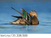 Купить «Northern Shoveler on the water cleaning the feathers, Northern Shoveler, Spatula clypeata», фото № 31338500, снято 24 октября 2013 г. (c) age Fotostock / Фотобанк Лори