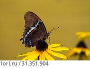 Купить «Rusty - Tipped Page Butterfly on yellow brown eyed susan with yellow background.», фото № 31351904, снято 24 августа 2018 г. (c) easy Fotostock / Фотобанк Лори