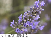 Купить «Lavender flower in a fantastic detail with macro shot, where you can see all the smallest details of this fragrant flower.», фото № 31359212, снято 23 ноября 2019 г. (c) easy Fotostock / Фотобанк Лори