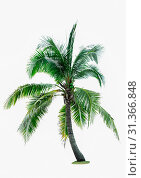 Купить «Coconut tree isolated on white background with copy space. Used for advertising decorative architecture. Summer and beach concept», фото № 31366848, снято 23 декабря 2017 г. (c) easy Fotostock / Фотобанк Лори