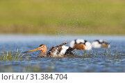 Black-tailed Godwit bading, Black-tailed Godwit, Limosa limosa (2014 год). Редакционное фото, фотограф Liszt Collection, Marc Guyt, Agami / age Fotostock / Фотобанк Лори