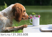 Portrait of a Russian Hunting Spaniel dog that smells wild flowers in a cup in nature. Стоковое фото, фотограф Яна Королёва / Фотобанк Лори