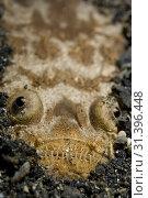 Купить «Marbled Stargazer (Uranoscopus bicinctus, Uranoscopidae family) buried in sand, Aer Perang dive site, Lembeh Straits, Sulawesi, Indonesia.», фото № 31396448, снято 29 декабря 2006 г. (c) age Fotostock / Фотобанк Лори