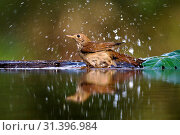 Common Nightingale bading in a forest pool, Common Nightingale, Luscinia megarhynchos (2008 год). Редакционное фото, фотограф Liszt Collection, Marc Guyt, Agami / age Fotostock / Фотобанк Лори