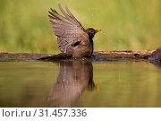 Common Blackbird bading in forestpool, Common Blackbird, Turdus merula (2008 год). Редакционное фото, фотограф Liszt Collection, Marc Guyt, Agami / age Fotostock / Фотобанк Лори