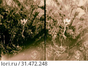 Wild flowers of Palestine. Romulea (R. Bulbocodium (L.) Seb. et Mauri). Another view of romulea flower 1900 (2018 год). Редакционное фото, фотограф © Liszt Collection / age Fotostock / Фотобанк Лори