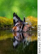 Bading Hawfinch, Coccothraustes coccothraustes, Hawfinch (2011 год). Редакционное фото, фотограф Liszt Collection, Hugh Harrop, Agami / age Fotostock / Фотобанк Лори