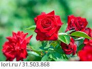 Купить «Красные розы сорт Никколо Паганини в Никитском ботаническом саду», фото № 31503868, снято 18 сентября 2016 г. (c) Татьяна Белова / Фотобанк Лори
