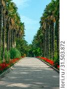 Купить «Никитский Ботанический сад. Пальмовая аллея.», фото № 31503872, снято 18 сентября 2016 г. (c) Татьяна Белова / Фотобанк Лори