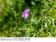 Купить «Plant Milk thistle (Silybum marianum) with pink flowers close-up (Greece)», фото № 31503916, снято 28 апреля 2019 г. (c) Татьяна Ляпи / Фотобанк Лори