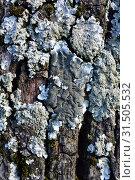 Купить «Parmelia tiliacea or Parmelina tiliacea (center) surrounded by Hypogymnia farinacea two foliose lichens. This photo was taken in La Albera, Girona province, Catalonia, Spain.», фото № 31505532, снято 29 апреля 2019 г. (c) age Fotostock / Фотобанк Лори