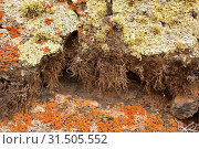 Купить «Orchilla (Roccella canariensis) is a fruticose lichen which provides a purple dye (center), surround of Ramalina (green-yellowsih), Xanthoria (orange)...», фото № 31505552, снято 14 мая 2019 г. (c) age Fotostock / Фотобанк Лори