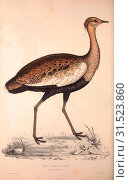 Купить «Otis Himalayanus (young male) or Delicious Bustard, Otis deliciosa. Birds from the Himalaya Mountains, engraving 1831 by Elizabeth Gould and John Gould...», фото № 31523860, снято 6 августа 2014 г. (c) age Fotostock / Фотобанк Лори