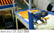 Купить «View of ripe mandarin oranges on conveyor belt of sorting production line», видеоролик № 31527068, снято 29 января 2019 г. (c) Яков Филимонов / Фотобанк Лори