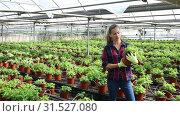 Купить «Confident experienced female farmer working in greenhouse, engaged in cultivation of fragrant organic mint», видеоролик № 31527080, снято 3 июня 2019 г. (c) Яков Филимонов / Фотобанк Лори