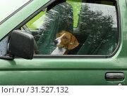 Dog (Drever) driving car. Стоковое фото, фотограф Валерия Попова / Фотобанк Лори