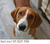 Купить «Drever, breed of dog, short-legged scenthound from Sweden used for hunting deer and other game. Drever is descended from Westphalian.  Portrait Dachsbracke», фото № 31527156, снято 7 июля 2019 г. (c) Валерия Попова / Фотобанк Лори