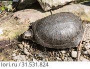 Купить «Болотная черепаха на берегу пруда», фото № 31531824, снято 26 мая 2016 г. (c) Наталья Волкова / Фотобанк Лори