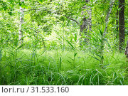 Купить «Natural defocused landscape with thickets of thick fresh green grass on the background of birch trees on a sunny summer day in the forest», фото № 31533160, снято 23 июня 2019 г. (c) Светлана Евграфова / Фотобанк Лори