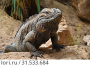Close up profile portrait of male rhinoceros iguana (Cyclura cornuta) resting on rocks and looking at camera, low angle view. Стоковое фото, фотограф ANTON EINE / easy Fotostock / Фотобанк Лори