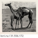 Купить «CAMELS FROM EL-TEB, SOUDAN (SUDAN), AT THE ZOOLOGICAL GARDENS: AS THEY WERE WHEN TAKEN TO THE GARDENS.», фото № 31556172, снято 22 июня 2012 г. (c) age Fotostock / Фотобанк Лори