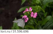 Купить «Black Veined White butterfly», видеоролик № 31596696, снято 14 июля 2019 г. (c) Игорь Жоров / Фотобанк Лори