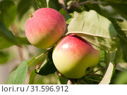 Купить «Спелые яблоки на ветке», фото № 31596912, снято 12 июля 2019 г. (c) WalDeMarus / Фотобанк Лори
