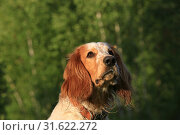Купить «Portrait of a dog breed Russian hunting spaniel in the forest», фото № 31622272, снято 14 июля 2019 г. (c) Яна Королёва / Фотобанк Лори