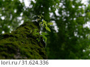 Купить «Young sprig on an old mossy trunk», фото № 31624336, снято 1 июля 2019 г. (c) Евгений Харитонов / Фотобанк Лори