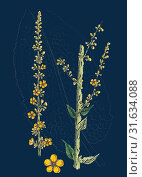 Verbascum nigro-pulverulentum, Hybrid between Dark and Hoary Mulleins (2013 год). Редакционное фото, фотограф Artokoloro / age Fotostock / Фотобанк Лори