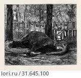 Купить «ELEPHANT HUNTING IN CEYLON: COW ELEPHANT SECURED IN CORRAL.», фото № 31645100, снято 2 января 2013 г. (c) age Fotostock / Фотобанк Лори