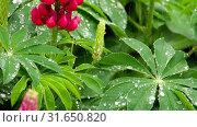 Купить «Lupine flowers and leaves with raindrops», видеоролик № 31650820, снято 29 июня 2019 г. (c) Игорь Жоров / Фотобанк Лори