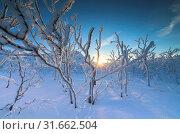 Sunburst on frozen trees in the boreal forest, Abisko, Kiruna Municipality, Norrbotten County, Lapland, Sweden, Europe. Стоковое фото, фотограф ClickAlps / age Fotostock / Фотобанк Лори