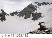 Купить «An old male steinbock, Lupo glacier, Orobie, Lombardy, Italy, Europe», фото № 31663112, снято 11 июля 2019 г. (c) age Fotostock / Фотобанк Лори
