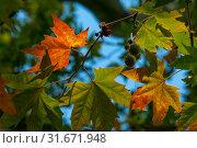 Купить «Осенние листья платана восточного на фоне неба в солнечный день», фото № 31671948, снято 18 сентября 2016 г. (c) Татьяна Белова / Фотобанк Лори