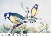 Купить «Male and female great tits, Parus major. From a contemporary print, c. 1935.», фото № 31673072, снято 22 мая 2019 г. (c) age Fotostock / Фотобанк Лори