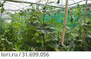 Купить «View of flowering tomato plants growing on supporting netting in glasshouse», видеоролик № 31699056, снято 3 июня 2019 г. (c) Яков Филимонов / Фотобанк Лори