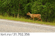 Купить «Reindeer calf (Rangifer tarandus) runs along highway», фото № 31702356, снято 3 июля 2019 г. (c) Валерия Попова / Фотобанк Лори