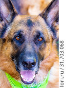 Купить «Closeup portrait of a German Shepherd breed dog», фото № 31703068, снято 1 июня 2019 г. (c) Акиньшин Владимир / Фотобанк Лори