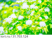 Купить «beautiful background he of flowering shrubs. Spirey May bride in summer sunny day», фото № 31703124, снято 1 июня 2019 г. (c) Акиньшин Владимир / Фотобанк Лори