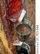 Купить «Collecting pine resin in buckets, closeup», фото № 31703644, снято 25 февраля 2020 г. (c) Яков Филимонов / Фотобанк Лори