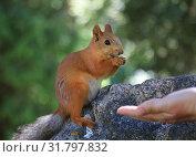 Купить «Squirrel eats nuts from the hands», фото № 31797832, снято 12 июля 2019 г. (c) Алексей Кузнецов / Фотобанк Лори