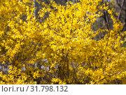 Купить «Цветущая форзиция», фото № 31798132, снято 25 апреля 2019 г. (c) Наталия Шевченко / Фотобанк Лори
