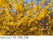 Купить «Цветущая форзиция», фото № 31798136, снято 25 апреля 2019 г. (c) Наталия Шевченко / Фотобанк Лори