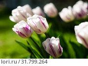 Белые тюльпаны освещённые солнцем. Стоковое фото, фотограф Игорь Низов / Фотобанк Лори