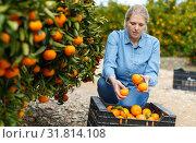 Купить «Woman farmer harvesting mandarins», фото № 31814108, снято 15 декабря 2018 г. (c) Яков Филимонов / Фотобанк Лори